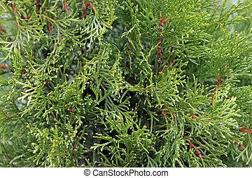 White cedar green background - Autumn close-up of Thuja...