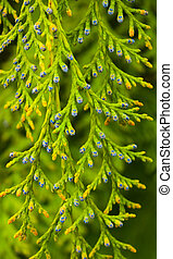 White Cedar - Thuja Occidentalis Close up, shallow depth
