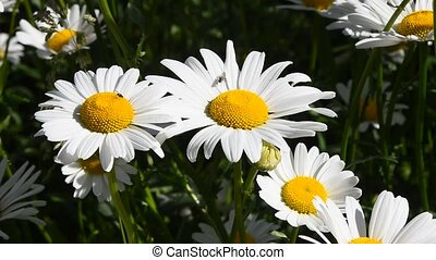 White chamomile daisy flowers in wind close up