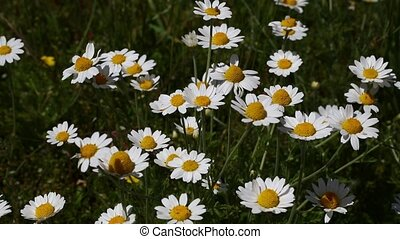 White chamomile daisy flowers in wind close up - Close up...