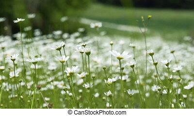 This stock video shows a field of chamomile flowers in a meadow.
