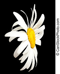 White chamomile on black. Close-up view