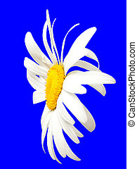 White chamomile on blue. Close-up view