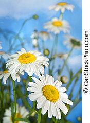 white chamomiles against blue sky