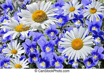 White chamomiles among blue violets - blossoming spring or summer meadow