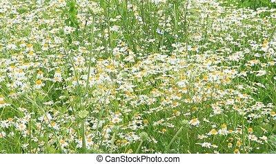White chamomiles blossom in summer field. Beautiful white...