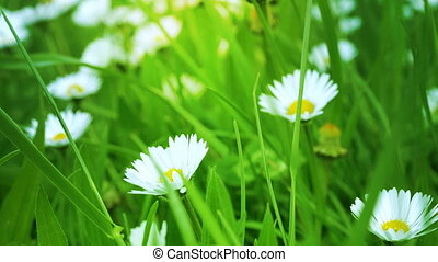 White chamomiles on a green field