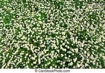 white chamomiles