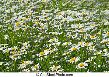 white chamomiles on green sunny meadow