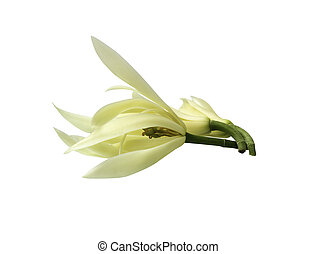 White Champak flower isolated