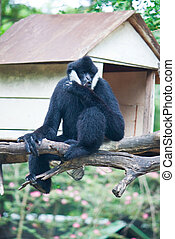 White Cheek Gibbon.