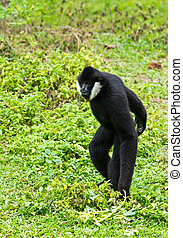 white Cheek Gibbon