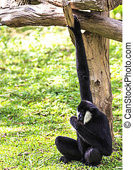 white cheeked gibbon