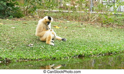 White Cheeked Gibbon sits on a meadow by a pond or river at...