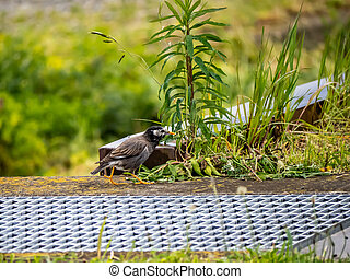 white cheeked starling beside a field