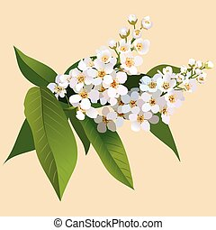 White cherries flowers with leaves and bud. Bunch of blossoming cherries flower