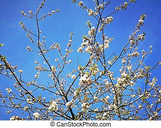 White cherry blossom against a blue sky
