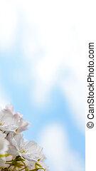 White Cherry Blossom Against Blue Sky Background - White...