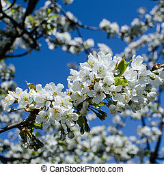 White cherry blossom at blue sky
