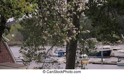 white cherry blossom branch blowing over a harbor