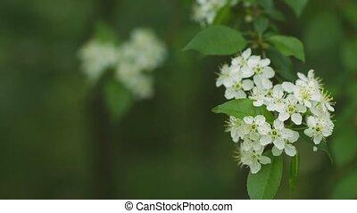 White cherry blossom close-up