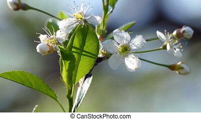 White cherry blossom in spring in the garden