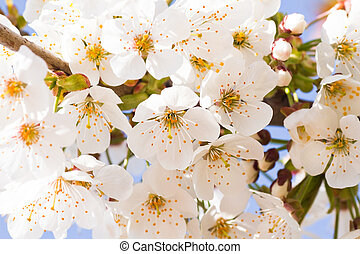 White cherry blossom in spring