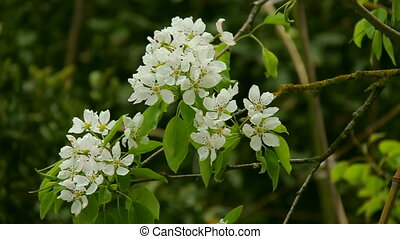 White cherry blossom in spring with blurred background....