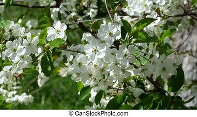 White cherry blossom swaying in the wind. Wind shakes twigs...