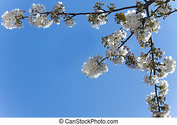 White cherry blossoms and a blue sky in spring