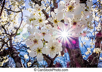 white cherry blossoms blooming in spring