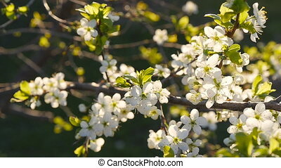 white cherry blossoms in full bloom in slow motion