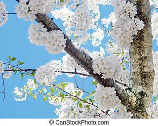 White cherry blossoms in Washington
