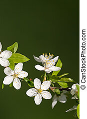 white cherry blossoms on green background