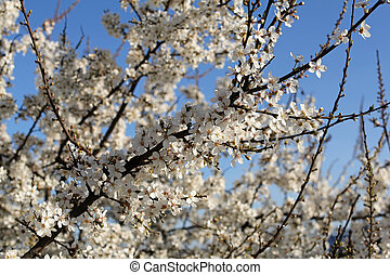 white cherry flowers against blue sky