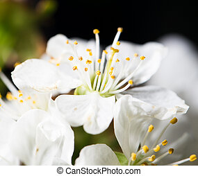 White cherry flowers on a black background