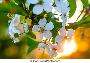 white cherry flowers on a tree branch close-up