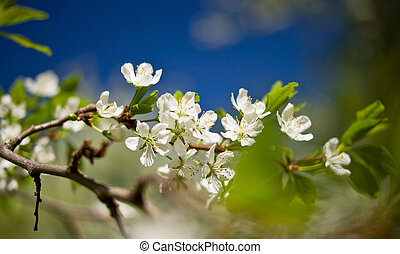 White cherry flowers on blue sky background. Spring sunny day.