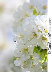 White cherry tree blossom