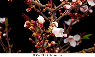 White Cherry Tree Flowers Blossoms. - White Flowers Blossoms...