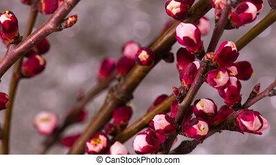 White Cherry Tree Flowers.