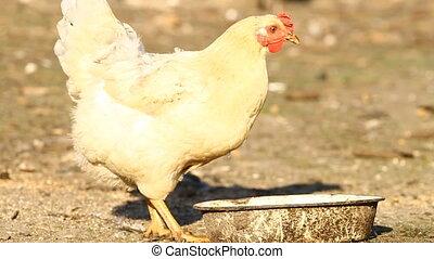White chicken drinks water