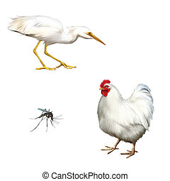 chicken isolated, Great White Egret, Ardea alba - White...