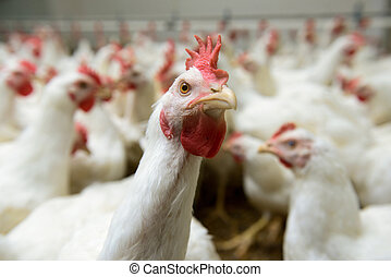 White chickens farm - Modern chicken farm, production of...