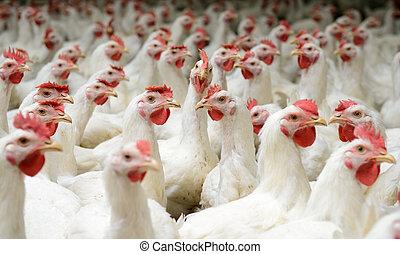 White chickens farm - Modern chicken farm, production of ...