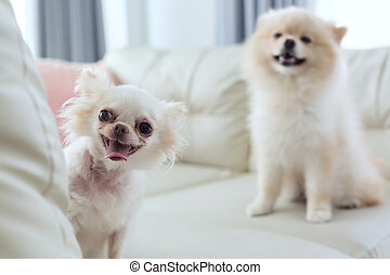 chihuahua and pomeranian dog cute pet happy smile