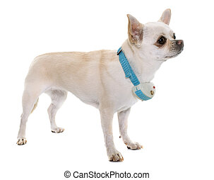 white chihuahua and shock collar in front of white background