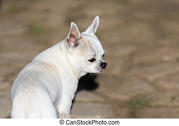 white chihuahua portrait