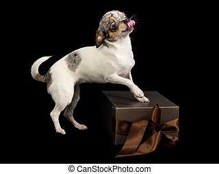 White chihuahua with gift box