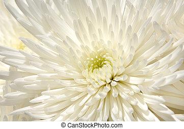 White Chrysanthemum Flower Background
